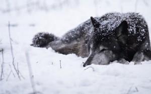 sleeping-wolf-296288