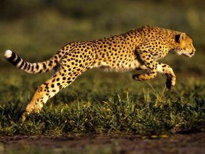 cheetah-jump_493_600x450